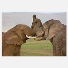 Close-up of a two African elephants fighting, Ngor