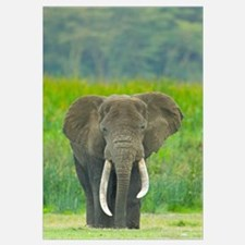 Close-up of an African elephant in a field, Ngoron