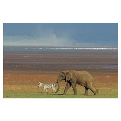 Side profile of an African elephant (Loxodonta afr Poster