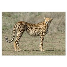 Side profile of a cheetah, Ngorongoro Conservation