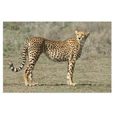 Side profile of a cheetah, Ngorongoro Conservation Poster