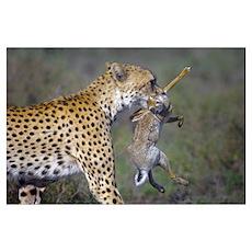 Close-up of a cheetah (Acinonyx jubatus) carrying  Poster