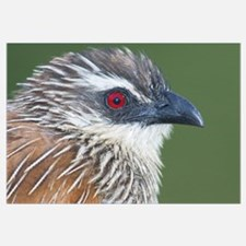 Close-up of a White-browed coucal (Centropus super