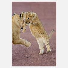 Two cubs rough housing, Ngorongoro Crater, Ngorong