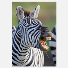 Close-up of a zebra calling, Ngorongoro Crater, Ng