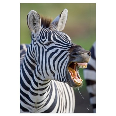 Close-up of a zebra calling, Ngorongoro Crater, Ng Framed Print