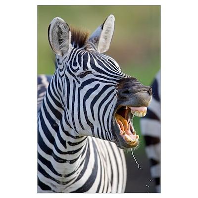 Close-up of a zebra calling, Ngorongoro Crater, Ng Poster