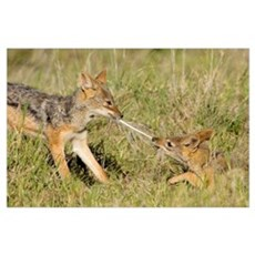 Side profile of two Silver-backed jackals pulling  Poster