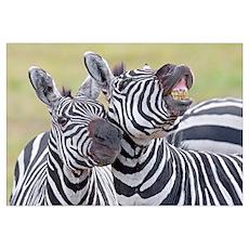 Close-up of two zebras, Ngorongoro Crater, Ngorong Poster