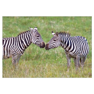 Side profile of two zebras touching their snouts, Poster