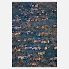 Herd of Zebras grazing, Masai Mara National Reserv