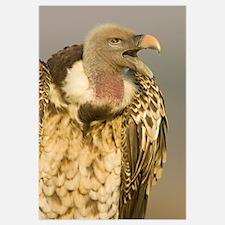 Close-up of a Rupells Griffon Vulture (Gyps Rueppe