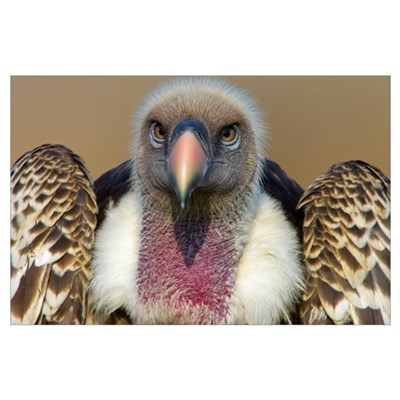 Close-up of a Rupells Griffon Vulture (Gyps Rueppe Poster