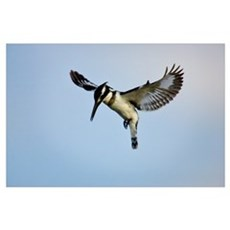 Close-up of a Pied Kingfisher (Ceryle Rudis) flyin Poster