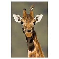 Portrait of a Rothchilds Giraffe (Giraffa Camelopa Poster