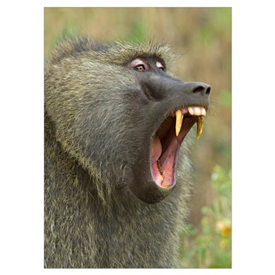Close-up of an Olive Baboon (Papio Anubis) yawning Poster