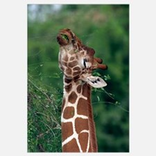 Reticulated Giraffe Samburu Kenya