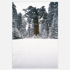 General Sherman trees in a snow covered landscape,