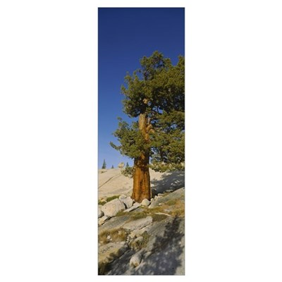Tree on hillside, Olmsted Point, Yosemite National Poster