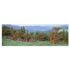Colorado, Bristlecone pine tree on the landscape Poster