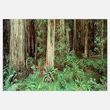Redwoods Stout Grove Del Norte County CA