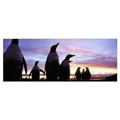 Silhouette of a group of Gentoo penguins, Falkland Poster