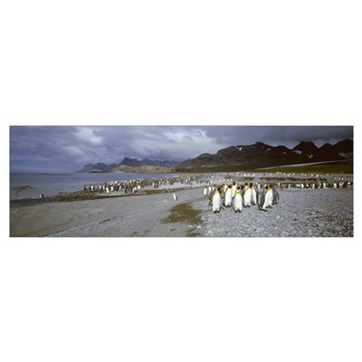 King Penguins, Gold Harbor, South Georgia Island, Poster