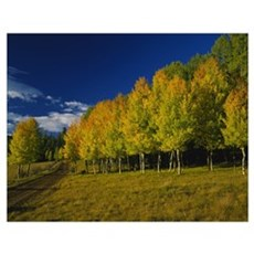 American Aspen trees in a forest, Terry Flat Loop, Poster