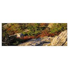 Trees on a hillside, Cadillac Mountain, Acadia Nat Poster