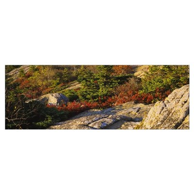 Trees on a hillside, Cadillac Mountain, Acadia Nat Framed Print