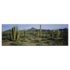 Organ pipe cactus on a landscape, Organ Pipe Cactu Poster