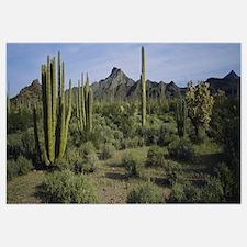 Organ pipe cactus on a landscape, Organ Pipe Cactu