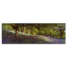 Bluebells in a forest, Newton Wood, Texas Poster