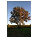 Autumn Oak Tree - Large posters