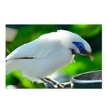 Bali Mynah Postcards (Package of 8)