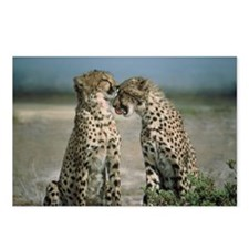 Cheetah Love Postcards (Package of 8)