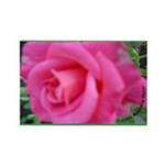 First Rose on Deck Rectangle Magnet (10 pack)