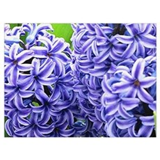 Hyacinth Flower Wall Art Canvas Art