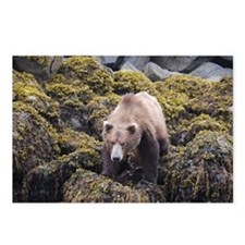 Bear on the Prowl Postcards (Package of 8)