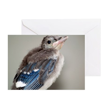 Baby Blue Jay Greeting Cards (Pk of 10)