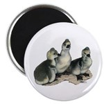 "Tufted Toulouse Goslings 2.25"" Magnet (100 pa"