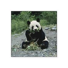 "Panda Square Sticker 3"" x 3"""