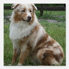 Red Merle Aussie Square Car Magnet