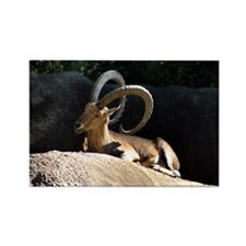 Nubian Ibex showing off his good side Rectangle Ma