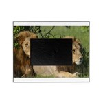 Two male brother lions Picture Frame