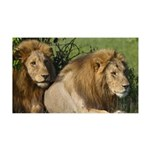 Two male brother lions 35x21 Wall Decal