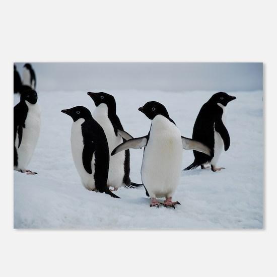Adelie Penguin in Antarctica Postcards (Package of