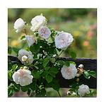 Romantic White Rose Tile Coaster