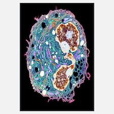 White blood cell, TEM