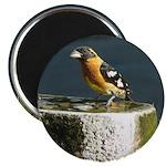 Pretty Black Headed Grosbeak Magnet